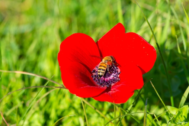 Selective focus shot of a red pheasant's-eye flower with a bee in the center
