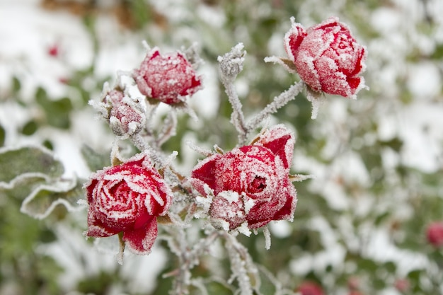 Selective focus shot of red roses with frost