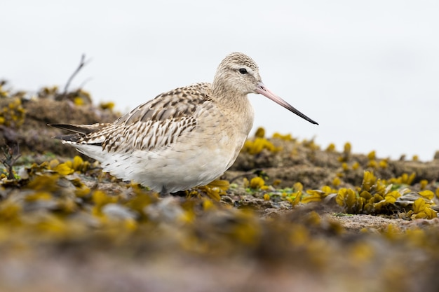 Selective focus shot of a redshank standing on the muddy ground surrounded by yellow flowers