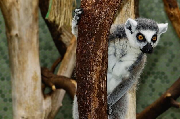 Colpo di messa a fuoco selettiva di un lemure dalla coda ad anelli attaccata a un ramo di un albero con uno sfondo sfocato