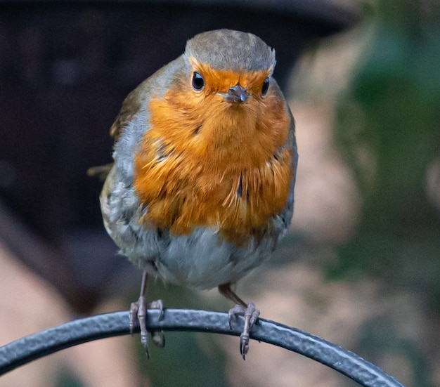 Selective focus shot of a robin perched on a metal wire