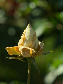 Selective focus shot of a rose blooming in the garden