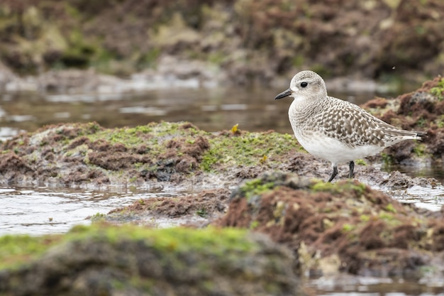 Selective focus shot of a sanderling standing on the moss-covered ground near the water