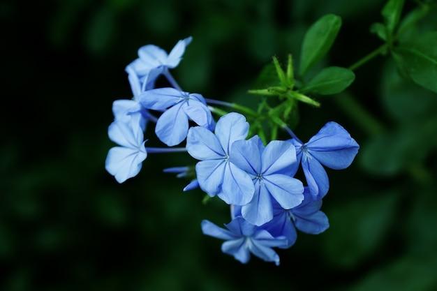 Selective focus shot of several verbena flowers