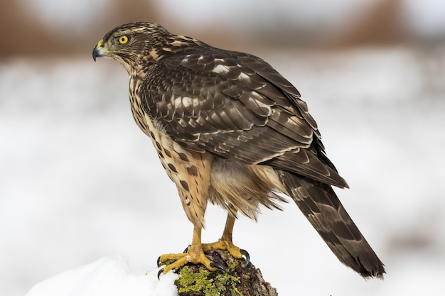 Selective focus shot of a sharp-shinned hawk on a white background