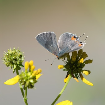 Selective focus shot of a short-tailed blue on a flower