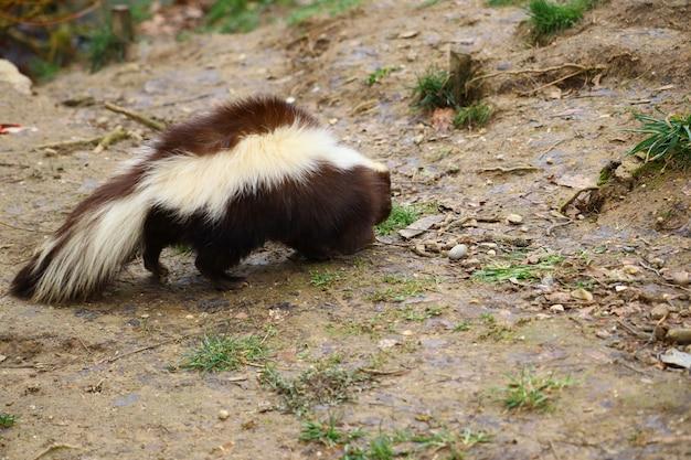 Selective focus shot of a skunk walking around