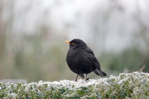 Selective focus shot of a small blackbird on green leaves in wintertime