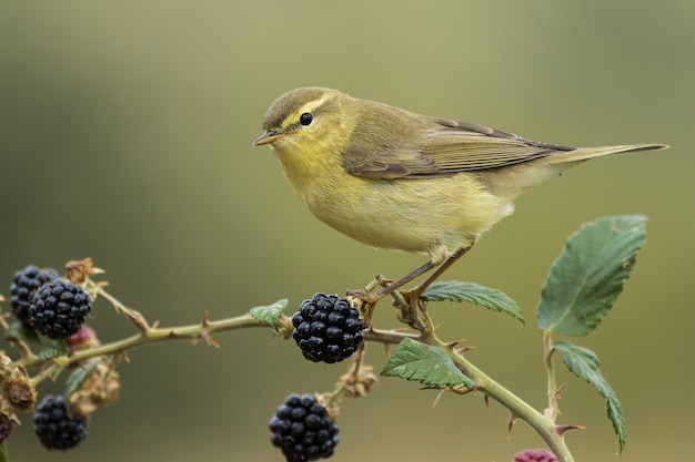 Selective focus shot of a small canary sitting on the branch of a berry tree