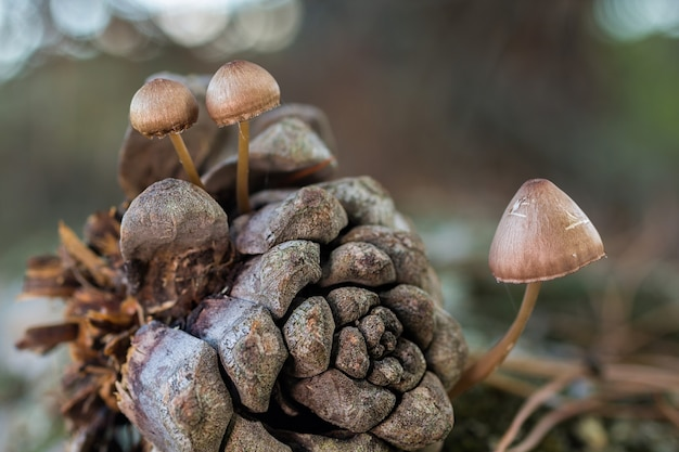 Selective focus shot of small mycena seynesii mushrooms growing in a forest