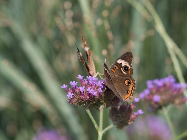 Selective focus shot of speckled wood butterfly on a little flower