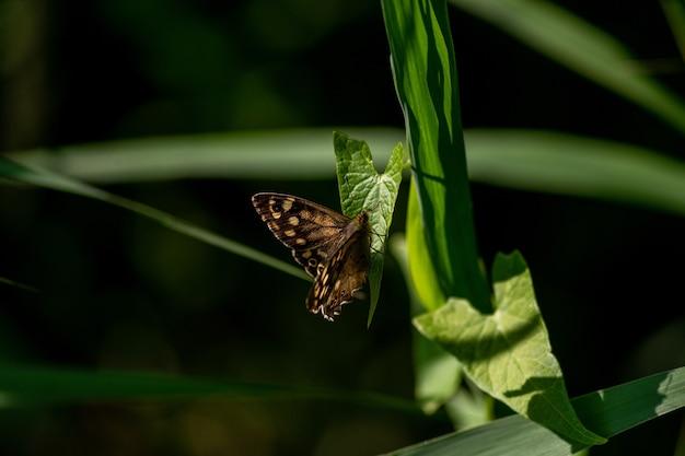 Selective focus shot of a speckled wood on a leaf