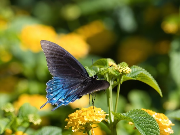 Selective focus shot of a spicebush swallowtail butterfly sitting on a flower