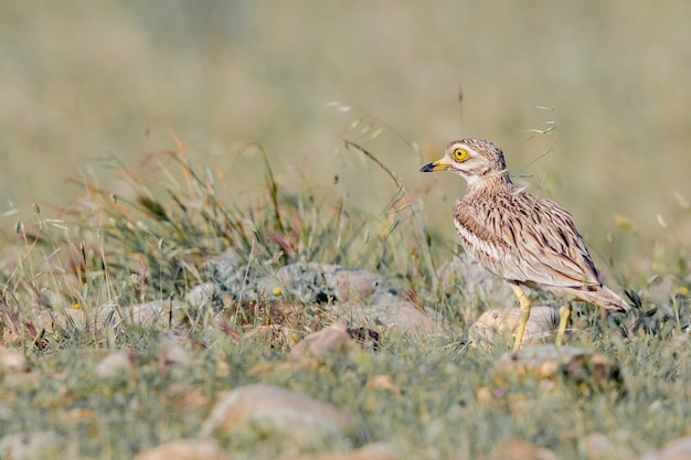 Selective focus shot of spotted thick-knee on the field