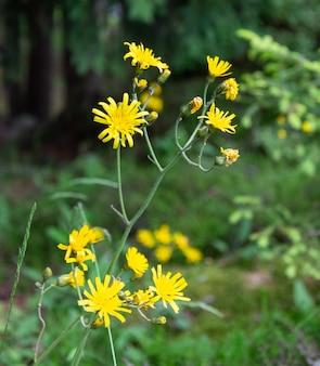 Colpo di messa a fuoco selettiva di fiori puzzolenti di willie che crescono nel campo