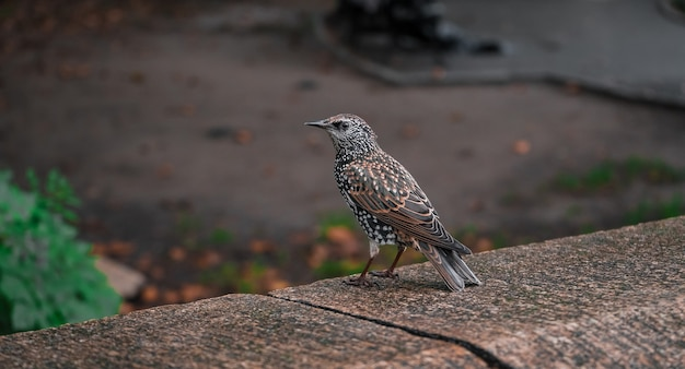 Selective focus shot of a thrush standing on the edge of a wall during day time