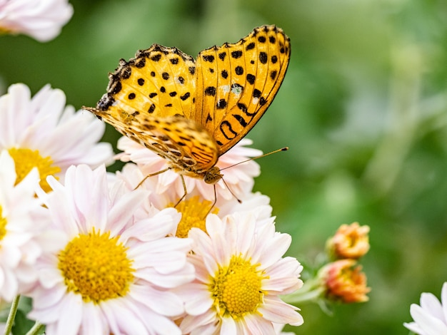 Selective focus shot of a tropical fritillary, argynnis hyperbius on white flowers