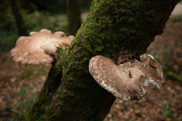 Selective focus shot of two birch polypore common white bracket mushrooms