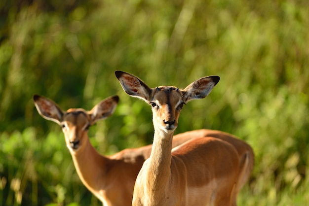 Selective focus shot of two cute deer in the middle of the african jungles
