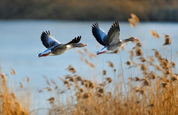 Selective focus shot of two flying ducks