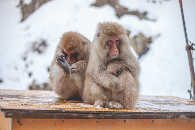 Selective focus shot of two macaques sitting on a wooden board