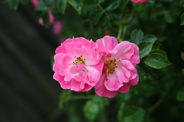 Selective focus shot of two pink gallic rose heads in the nature in twente, the netherlands
