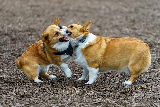 Selective focus shot of two welsh corgis playing with each other