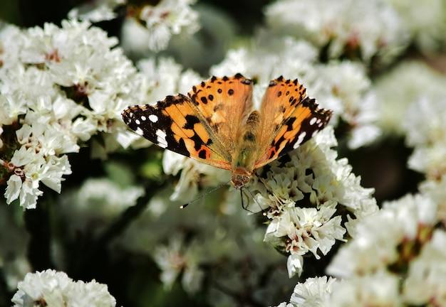 Messa a fuoco selettiva della farfalla vanessa cardui che raccoglie polline su fiori statici