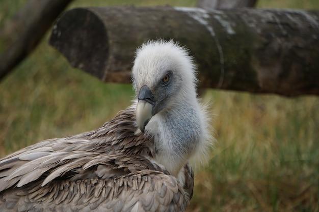 Colpo di messa a fuoco selettiva di un avvoltoio nel campo
