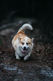 Selective focus shot of welsh corgi pembroke walking in the forest