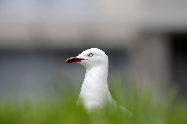 Selective focus shot of a white european herring gull surrounded by grass with a blurred background