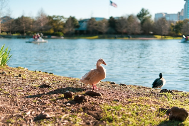 Selective focus shot of white goose on the shore of mcgovern lake in texas