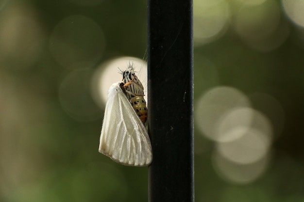 Selective focus shot of a white-satin moth on a wooden stick captured in japan