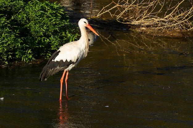 Selective focus shot of a white stork (ciconia ciconia) in a river on a sunny day