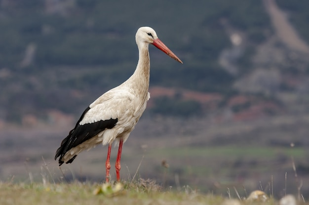 Selective focus shot of a white stork standing proudly on a grass-covered field