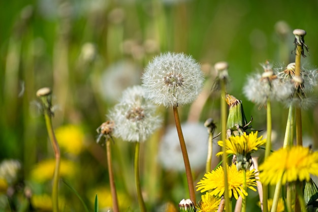 Selective focus shot of white and yellow dandelions in the garden