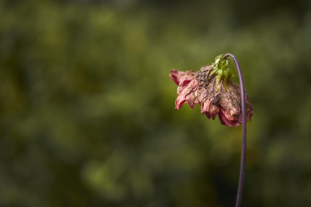 Selective focus shot of wilted flower