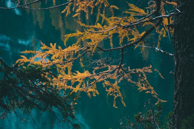 Selective focus shot of yellow larch tree near the water