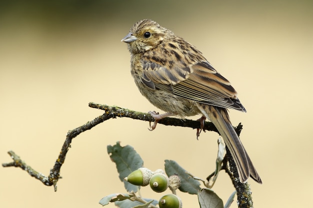 Selective focus shot of a young cirl bunting with a sitting on an oak branch blurred background