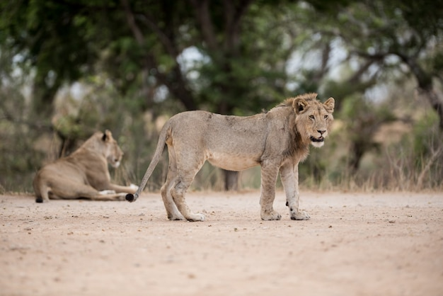 Colpo di messa a fuoco selettiva di un giovane leone maschio in piedi sul suolo