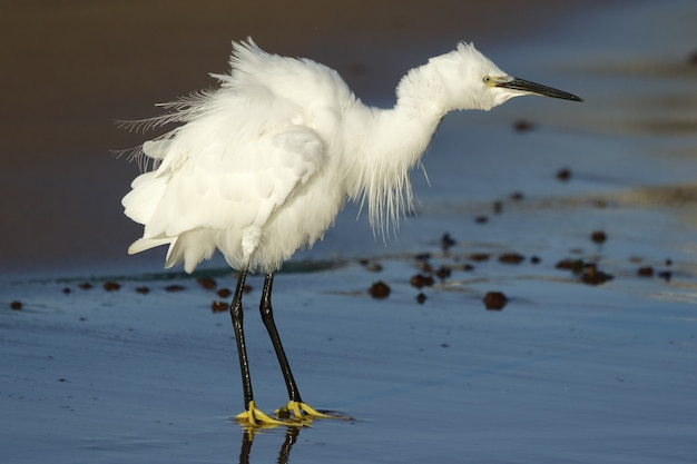 Selective focus of a snowy egret walking through a beach surrounded by the sea under the sunlight
