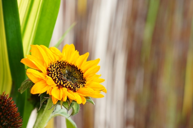 Selective focus of a sunflower in a field under the sunlight with a blurry background