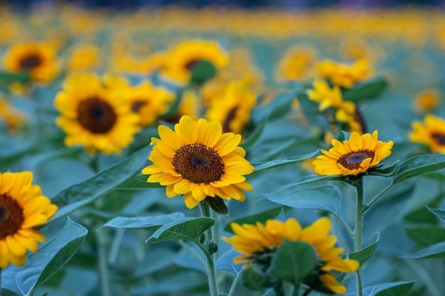 自然の背景にあるセレクティブフォーカスのヒマワリ畑の美しい黄色い花