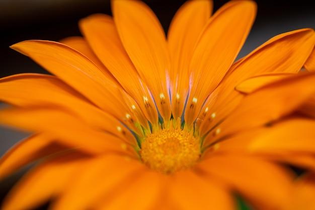 Messa a fuoco selettiva di un fiore arancione simmetrico con petali lunghi e stretti narrow