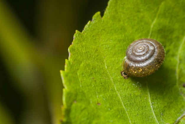 Selective focus of a transparent snail shell on a green leaf