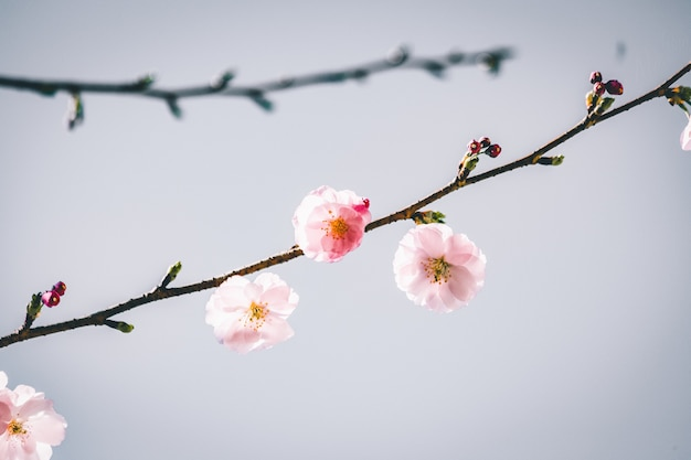 Selective focus view of a beautiful branch with cherry blossom flowers with a grey background