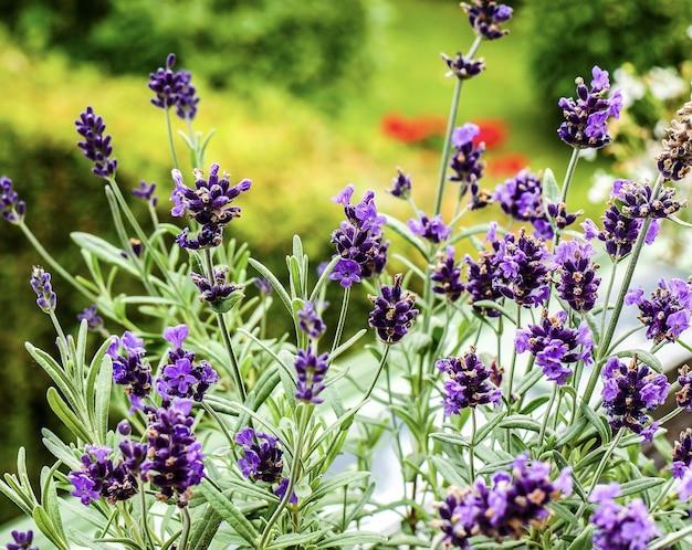 Messa a fuoco selettiva vista di un gruppo di fiori di lavanda viola in giardino con uno sfondo sfocato