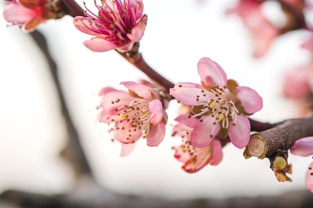 Вид с селективным фокусом на красивые цветы сакуры в саду, снятый в яркий день