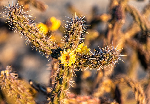 Vista di messa a fuoco selettiva di piccoli fiori gialli sbocciati su un cactus selvatico nel deserto