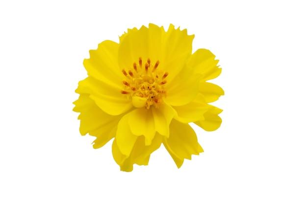セレクティブフォーカス黄色い花、白い背景で隔離のコスモスの花。ファイルにはクリッピングパスが含まれています。